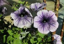 冬に咲くペチュニア