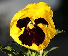 やっぱり大きいパンジーンの花