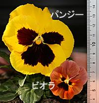 パンj-とビオラの花
