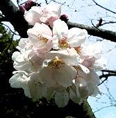 愛宕霊園のソメイヨシノが少しだけ開花