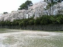 駿府公園 内堀 静岡市民文化会館前のサクラ