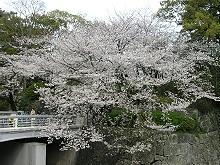 駿府公園 内堀 西門端付近のサクラ