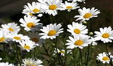 ノースポールの花が満開