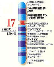 文部科学省の「ヒトゲノムマップ」の17番染色体の模式図