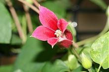 リンセス・ダイアナが今年も開花