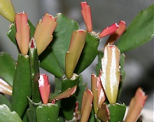 シャコバサボテン:赤い新芽