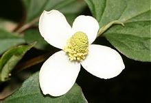 ドクダミの花が今年も咲いた