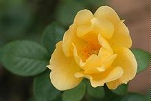 バラ:11月の花