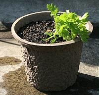 ウールと古紙から生まれた植木鉢にクリサンセマムを植えた