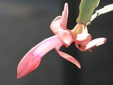 シャコバサボテン:平年並みの開花