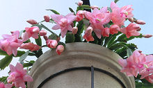年が明けてもシャコバサボテンは咲き続けています