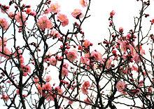 近所では梅が咲き始めました