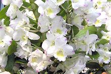 白い花のデンドロビューム