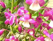 ピンク花のデンドロビューム