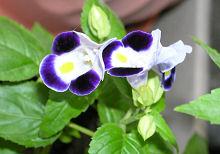こぼれ種から生長し開花したトレニア