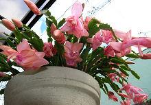 シャコバサボテン:開花最盛期2008