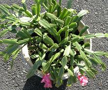 シャコバサボテン:この冬の花は終わりました