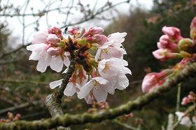 愛宕霊園のソメイヨシノが咲き始めていました