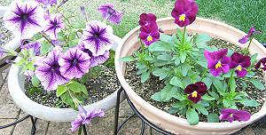 ペチュニアとビオラの花