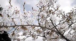 静岡市葵区 愛宕霊園のソメイヨシノ 2010.03.20