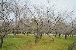 静岡市葵区 駿府公園のソメイヨシノ 2010.03.18