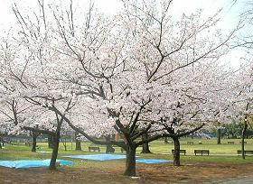 駿府公園のサクラ