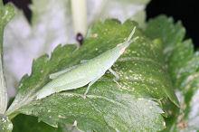 ミツバの葉にとまるオンブバッタの幼虫
