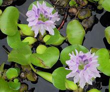 小学校の池のホテイアオイの花