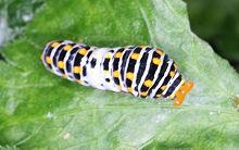 キアゲハの幼虫です