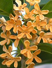 今年もキンモクセイの花の季節になりました