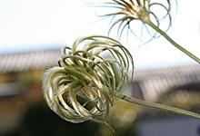 http://www.asahi-net.or.jp/~RZ1T-KROK/garden/blog/clemabl.html
