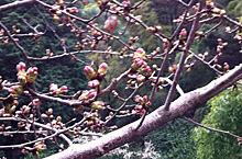 愛宕霊園のソメイヨシノの花 2012.03.18 静岡市葵区