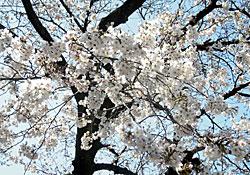 ソメイヨシノ 2012.04.01 静岡市葵区