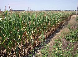干ばつのトウモロコシ 米国インディアナ州 2012.08 S君撮影