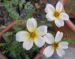 新芽から咲いたウインターコスモス