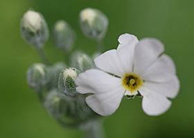 プリムラ・マラコイデスの花が咲きました