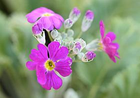 プリムラ・マラコイデスの赤紫の花が咲きました