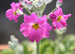 プリムラ・マラコイデス ピンク色の花