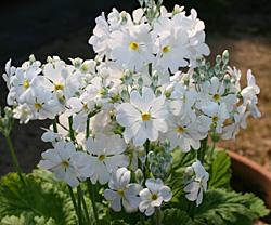 プリムラ・マラコイデス 白色の花