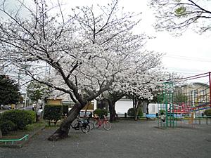 満開のソメイヨシノ 2013.03.24 静岡市葵区平野部
