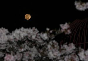 ソメイヨシノと十六夜 月齢 16.7の月 2013.03.28 21:43 静岡市葵区平野部