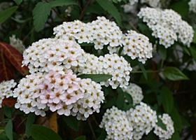 今年のジャスミンの花は少し早いかな