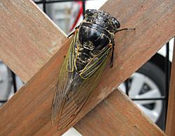 クマゼミの雌成虫 2013.08.22 静岡市葵区平野部
