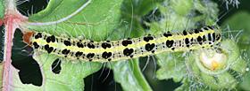 フタトガリコヤガの幼虫?