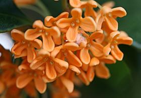 キンモクセイの花 2013.10.27