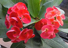 花キリン 「八福神」