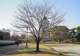 駿府城公園のソメイヨシノ 2014.03.25