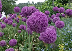アリウム・ギガンテウムの花