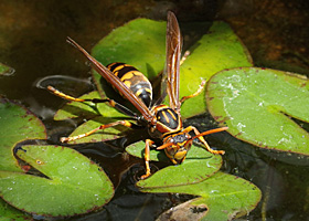温帯性ヒメスイレンの葉にとまるセグロアシナガバチ