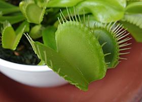 ハエトリグサの捕虫葉